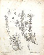 Flora azorica